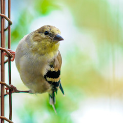 goldfinch bokeh (nosha) Tags: usa black green bird nature beautiful beauty yellow gold newjersey nikon october bokeh wildlife goldfinch beak feathers nj feather spot mercer finch organic f56 2009 avian mercercounty 135mm lightroom d300 blackmagic nosha featheryfriday 0ev 1125sec nikond300 1125secatf56 ul20091018