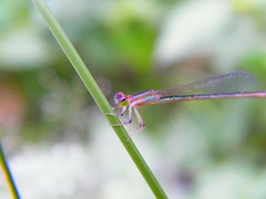 Rainbow Damsel Fly (ap's) Tags: blue red wild orange macro green nature beautiful grass yellow wonderful fly kid wings rainbow dragon zoom dragonfly small violet indigo insects super bugs best iso fujifilm hd 100 thin s2000 smallest damsel vibgyor wanderous