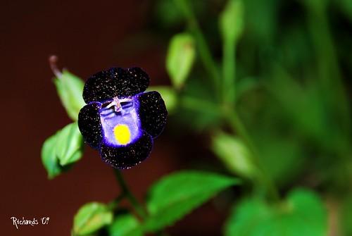 flower macro picnik wishbone torenia