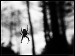 Aracnofobia (Soniko | Kaleko Begiak) Tags: white black spider foto country terror araña bizkaia basque vasco euskadi vizcaya pinar pais baskenland armiarma euskal herria sopelana barrika tetrico sopela aracnofobia tetrica