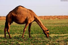 Camel (ANOODONNA) Tags: canon farm camel 40d alrasheed alanood   anoodonna