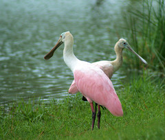 Mz's Scarlet & Rosie (Adventures of KM&G-Morris) Tags: always houstontexas whereiwanttobe roseattespoonbill walkingwiththebirds
