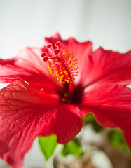 hibiscus-2 (Thomas Tolkien) Tags: school red copyright flower art sports yellow tom digital photography photo education nikon thomas yorkshire d70s teacher indoors hibiscus website stamen creativecommons bloom teaching tolkien jrr tuition potplant twitter robertbringhurst bringhurst thomastolkien tomtolkien httpwwwtomtolkiencom httpthomastolkienwordpresscom tolkienart notrelatedtojrrtolkien tolkienteacher tolkienteaching