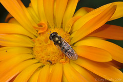 Hoverfly (Cory Dalva) Tags: orange flower hoverfly 105mm d90
