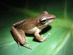 Craugastor talamancae (CostaRicaFrog) Tags: trees nature rain forest rainforest costarica wildlife reserve center science study research jungle breeding rivers frogs species caribbean streams endangered amphibians eco limon herpetology herpetologist guayacan siquirres briankubicki talamancia