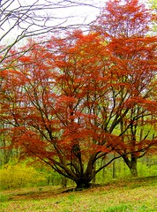 Lovely Tree (Stanley Zimny (Thank You for 15 Million views)) Tags: park autumn trees red tree fall nature colors leaves automne catchycolors leaf colorful colours seasons natural fallcolors herbst autumncolors fourseasons autunno autumnal colorexplosion 4seasons