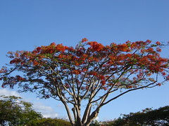 Fiji Christmas Tree