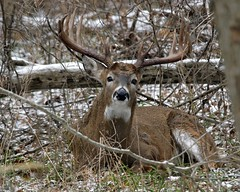Wounded but not dead (randycrawford60) Tags: park animal wisconsin wildlife deer antlers milwaukee buck sheds whitetail siting