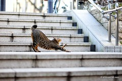 Roppongi Neko (shibuya246) Tags: japan cat tokyo roppongi neko