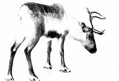 Reindeer (Anders Madsen) Tags: norway reindeer rein nordnorge d300 andersmadsen 2470mmf28g nothernnorway