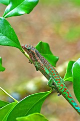 Phelsuma borbonica - north (ach_gecko) Tags: ocean reunion indian vert lizard gecko chameleon phelsuma lezart borbonica inexpectata