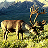 Reindeer_USFWS