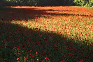 Poppies in Perrotet