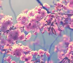 Vintage....... (A blond-Tess) Tags: pink light contrast canon vintage photography 50mm spring edinburgh bright inspired rosa highlights creation april tess usm dslr pastell flowrs