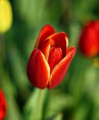 Tulip (Edelvvays) Tags: red canon turkey trkiye f tulip 28 135mm 30d
