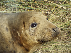 Donna Nook Seal4 (oliverrodgers1) Tags: seal commonseal donnanook mammal sea beach