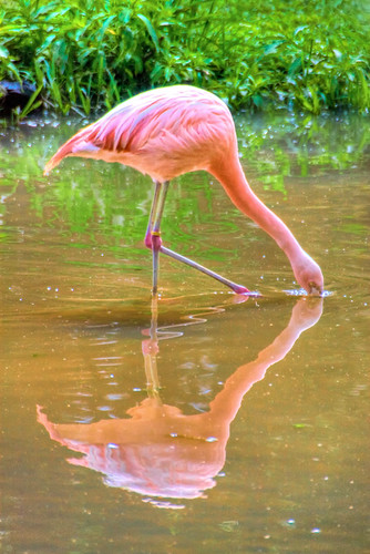 Flamingo   HDR
