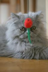 Popi (Elodie DG) Tags: bleu chaton persan
