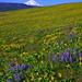 Mount Hood and wildflowers