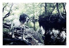 (jessthespringer) Tags: trees ireland dog 35mm river nikon jess f80 englishspringerspaniel nikkor24f28 thelittledoglaughed autaut fujicolourc200 expirednov06 jessthespringer forestfilm