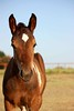 Foal_2009_0136 (MuttShots) Tags: foal painthorse fohlen schecke