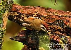 นกมุ่นรกหัวน้ำตาลแดง  Rufous-winged Fulvetta