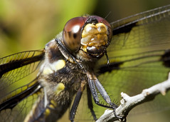 12 Spotted Skimmer (Emery O) Tags: macro wisconsin female canon spotted 12 skimmer odonata libellulidae anisoptera 180mm pulchella sobieski 50d ocontocounty 12spottedskimmer 580exii macrolife macrophotographers smallcreatureswilllovethisplace female12spottedskimmer