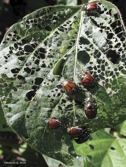 japanese-beetle-soybean.jpg