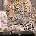 Leopardess looking down