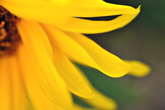 (stephenmdensmore) Tags: sun flower macro yellow