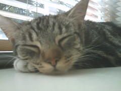 Perl (naesk) Tags: pet cat asleep abandonedcat rescuedcat