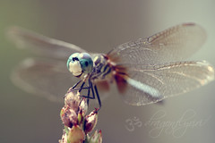 Dedicated to Wanda ( dragonflyriri  (Limited Flickr Time)) Tags: baby macro cute smile dedication wanda you dragonfly bokeh thank micro rx odonata bluedasher dragonflyriri