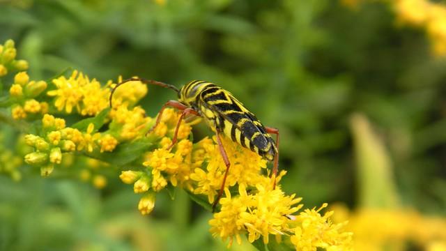 Megacyllene robiniae, Locust borer, Goldenrod bug