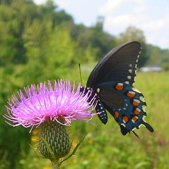 pipevine 3 (livingglassart home of oddballs and oddities) Tags: nature butterfly tennessee wildlife september monday wildflower perryville bullthistle pipevineswallowtail decaturcounty