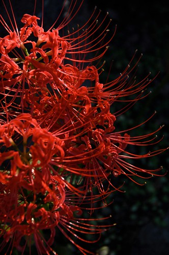 Spider Lily 2009 - その6
