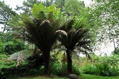 Ilnacullin, arborescent fern (Joachim S. Mller) Tags: ireland fern cork irland farn treefern baumfarn garinishisland ilnacullin angleanngarbh tamronaf18270mmf3563 arborescentfern oilenanchulinn