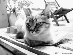 Reflexões de Madonna... (Andressa Rafaela) Tags: animal brasil fauna fotograf brasilien gato animales katze 猫 katzen por animale brasile fotógrafo 動物 tier fotografo ネコ brasiliano brasileño brasilianischer andressarafaela 0katzenhaft 0katzenartig abouttabs