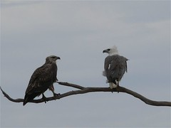 White-bellied sea-eagles, juv and adult (Hone Morihana) Tags: bird birds australianbirds whitebelliedseaeagle