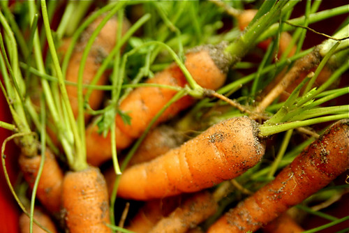 Baby Organic Carrots from Garden 10-6-09 by stevendepolo, on Flickr
