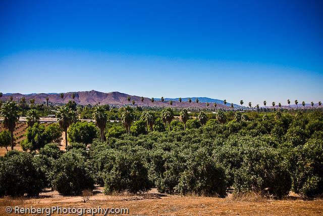 RenbergPhoto 10-16-09 Orange Groves -5