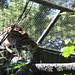 Visayan Leopard