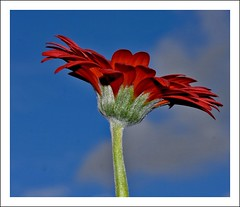 Flower (pixiepic's) Tags: red flower clouds petals stem syk platinumheartaward awesomeblossoms simplythebest~flowers