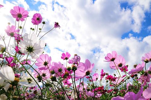 フリー画像| 花/フラワー| コスモス|         フリー素材|