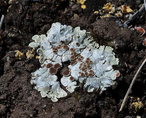 Squamarina lentigera 'White Rim Lichen' by dougwaylett.
