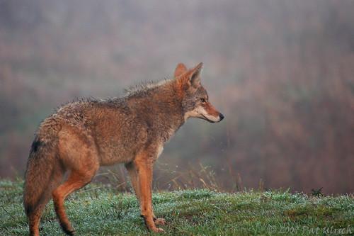 Uneasy coyote