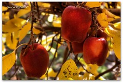 Red Delicious Apples (Ronaldo F Cabuhat) Tags: travel autumn red vacation macro tree apple fruits leaves closeup canon fun photography scenery flavor sweet farm harvest picture vi