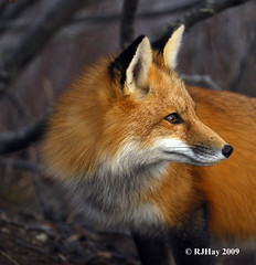 Foxy Redhead #2 (Ron Hay) Tags: red newbrunswick fox soe redfox saintjohn vulpesvulpes naturesfinest irvingnaturepark supershot ronhay rjhay firefox5 rjhay2009