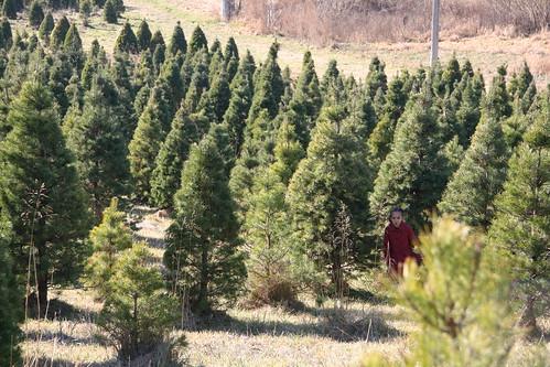 christmas tree farm 1