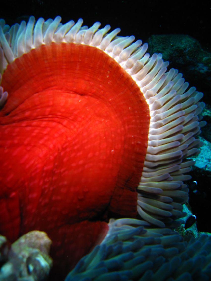Anemone de Mer ( caledonie )