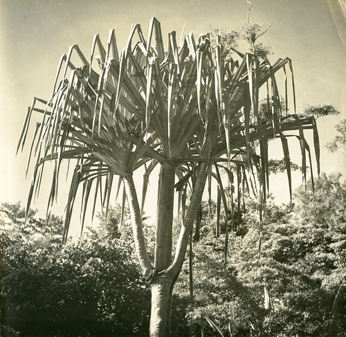 Giant Pandanus on Bacan Island, Indonesia.